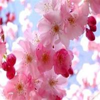 绿化苗自产自销日本樱花树苗 樱花小苗 林木树苗 绿化工程小苗厂