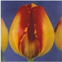 郁金香种球 各种颜色齐全 任选