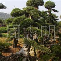 批发供应优秀绿化苗木 造型榆树