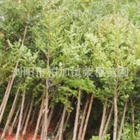 批发供应大量常绿性乔木红豆杉