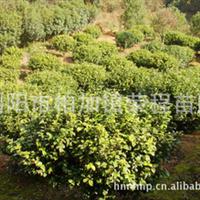 大量供应优质园林常绿性灌木山茶花