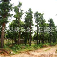 厂家直销大量优质园林绿化乔木银杏