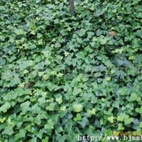 大量供应常春藤(落叶/不落叶)