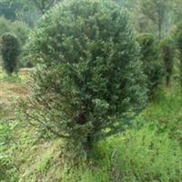 出售红豆杉绿化苗木厂