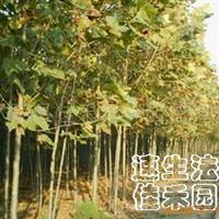 供应法桐、青桐、合欢、枫杨、栾树、流苏树、楸树