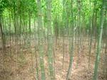 大量供应青竹、刚竹、窝竹、紫竹等低价出售