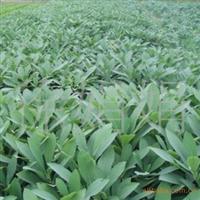 常年大量供应结香、茶花、红叶小檗、紫丁香等花卉苗木