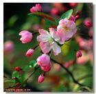 常年供应垂丝海棠、日本海棠、西湖海棠等苗木