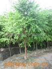 供应绿化苗木水杉,水桫厂