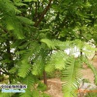 常年大量供应水杉、池杉、柳杉、云杉等苗木厂