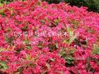 常年大量供应红王子锦带、红瑞木、连翘等绿化花卉苗木厂