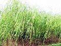 大量供应金丝柳、馒头柳、垂柳等绿化苗木