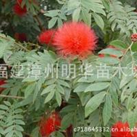 红合欢、红绒球 、美蕊花
