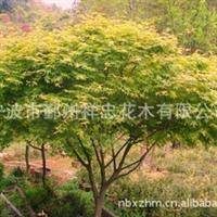 本厂专业经销宁波四明山优质鸡爪槭花木