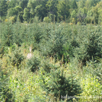 专业低价供应内蒙古白扦云杉绿化大苗厂