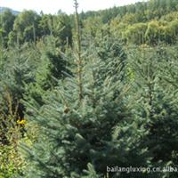 产地供应内蒙古白扦云杉绿化大苗