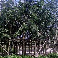 腊肠树,好种易活,长期供应各种规格