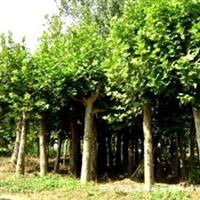 双春园林绿化中心长期直供法国梧桐  各种优质法桐及苗木