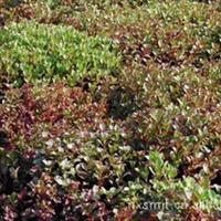 大量供应园林观赏性植物 八宝景天红花景天