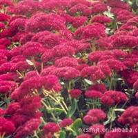 大量供应园林观赏性植物 八宝景天红花景天厂