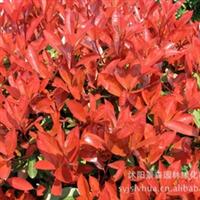 红叶石楠【 常年大量供应】各种规格的 红叶石楠