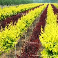 【低价供应】特价苏北沭阳绿化苗木,乔木类金叶榆