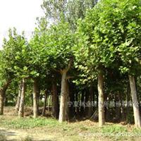 供应大量矮接、高接金叶榆等绿化苗木