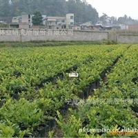 现低价直销优质绿化乔灌木美人梅 价格低廉 规格齐全厂