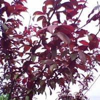 紫叶李(嫁接)