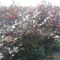 供应苗木,牛毛卷,大杯红花继木,欢迎前来洽谈
