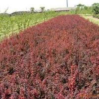 供应,色块苗,球状,红花继木工程苗木