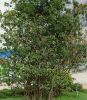 供应,公园景观苗木,花石榴,
