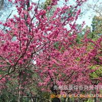 【批量供应】各种规格的优质樱花Ⅰ【量大从优】厂