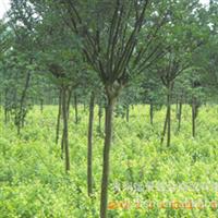 远景产地【超值】【特价】紫薇绿化苗批量供应【园艺规划与设计】厂