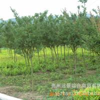 远景产地【超值】【特价】紫薇绿化苗批量供应【园艺规划与设计】