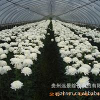 批量供应产地优质反季节菊花【鲜切化】【量大从优】【定向培育】厂