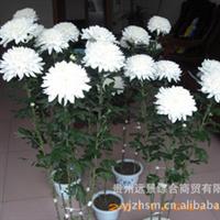 【反季节】菊花等【特色】盆栽、鲜切花【定单生产】【量大从优】厂