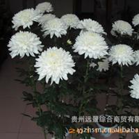 【反季节】菊花等【特色】盆栽、鲜切花【定单生产】【量大从优】