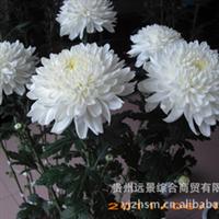 【特色】【反季节】菊花鲜切花、盆栽花、优质种苗批量供应厂