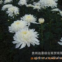 产地特色【反季节】菊花等盆栽花、庆典花、租摆花批量定单供应