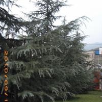 贵州远景 【优质】雪松等苗木销售及规划种植【量大从优】厂