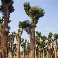 浏阳绿雄天下苗圃供应乔木   高品质樟树  0731 83122920厂