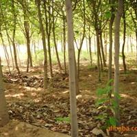 山东 济南 供应6公分玉兰以及其它规格的玉兰