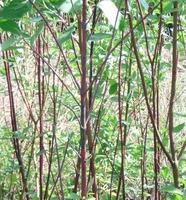 绿化苗木 山东 济南提供红瑞木等绿化苗木