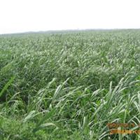 常年供应大量白洋淀优质水生植物 芦苇 纸浆芦苇厂