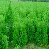 基地优价供应湖南灌木1-2m高塔柏及蜀侩、侩柏