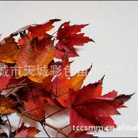 长年现货供应彩色苗木 红枫 红叶