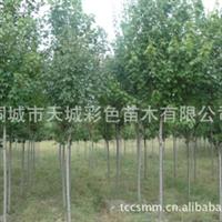 长期售彩色苗木(红枫,彩叶树)大小规格齐全,价格优惠厂