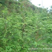 植物之王——红豆 杉