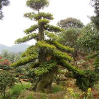 供应优质苗木   榆树
